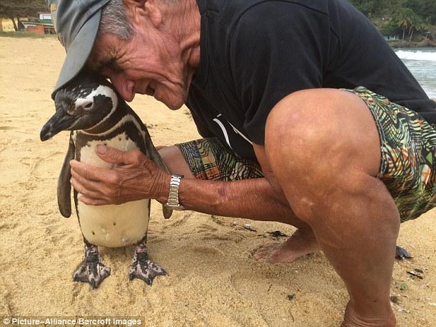 Những hình ảnh mới nhất về chú chim cánh cụt vượt 8.000km đường biển trở về thăm ân nhân - Ảnh 4.