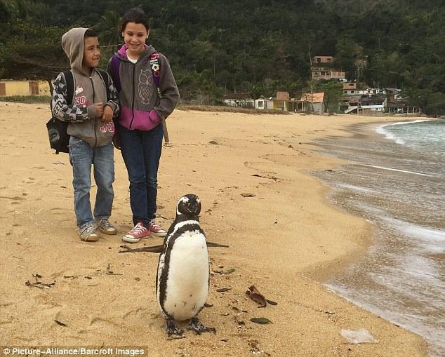 Những hình ảnh mới nhất về chú chim cánh cụt vượt 8.000km đường biển trở về thăm ân nhân - Ảnh 7.