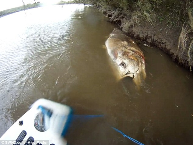 Ikan Tuna Raksasa Sepanjang 2 Meter Ditemukan Di Sungai
