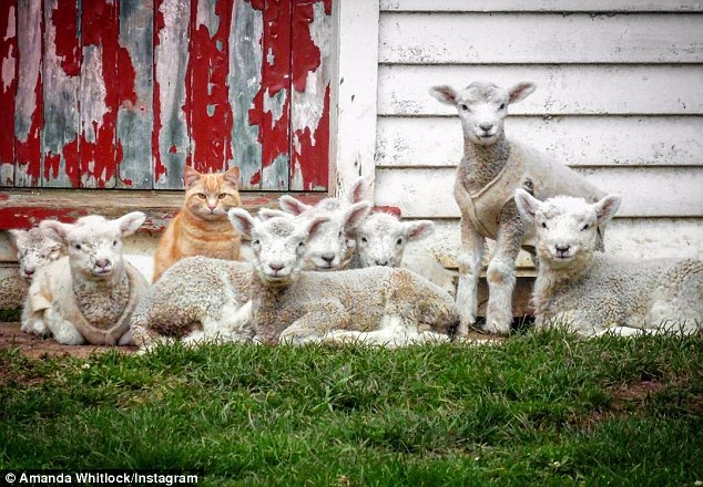 New Zealand Cat Thinks He's a Lamb